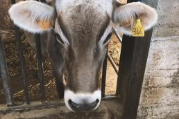 Kuh-Landwirschaftspraktikum